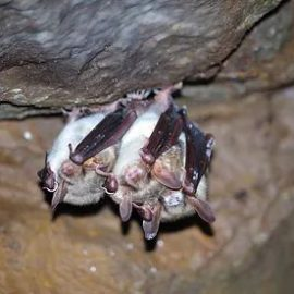 Defence strategies of a hibernating European bat species against white-nose disease