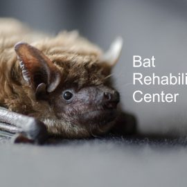 Spendenaufruf für das Bat Rehab Center in der Ukraine