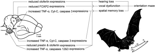 Negative effects of neonicotinoids on the nervous system of bats