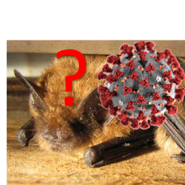Is SARS-CoV-2 contagious to bats? – An experimental study attempt to infect a North American bat species with the virus has failed