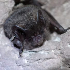 About hibernation of barbastelle bats in times of climate change