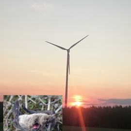 Bats are attracted by wind turbines