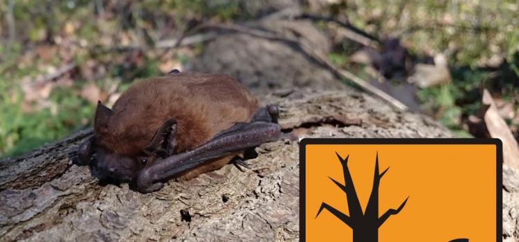 Flughaut- und Fellproben von Fledermäusen als Biomarker für Schwermetallbelastungen