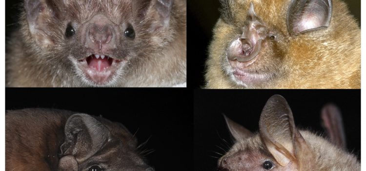 Astonishingly accurate: Chronological age determination of bats possible using DNA from wing membrane samples