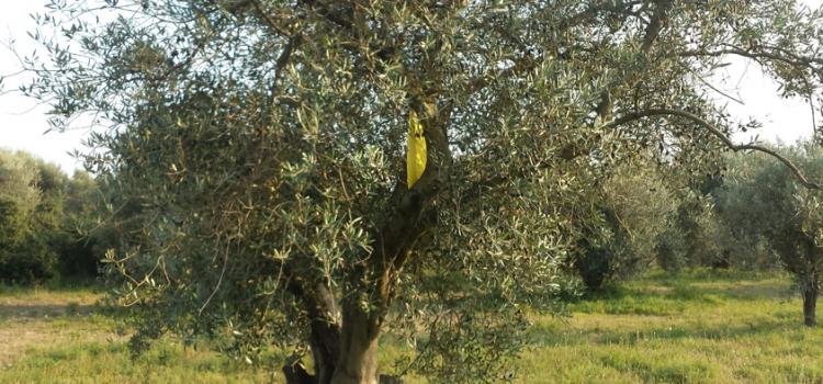 Fledermäuse helfen beim ökologischen Olivenanbau